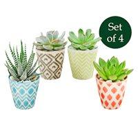 Succulents in Assorted Jazz Jr Ceramic