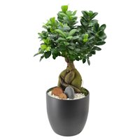 Ginseng Ficus In Louise Ceramic  Arcadia Garden Products