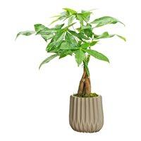 Money Tree in Classica Ceramic