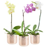 Phalaenopsis Orchid in Dimpled Copper Ceramic