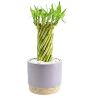 Lucky Bamboo in Blush Ceramic